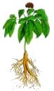 ginseng-fleur
