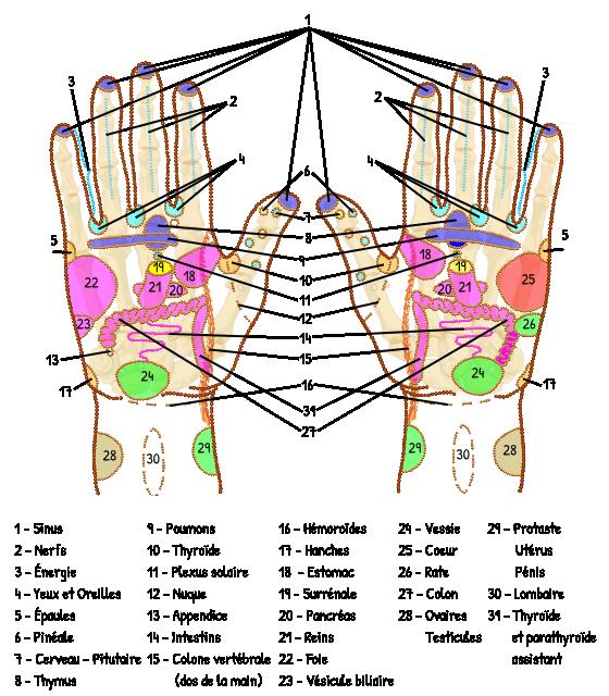 Planche-reflexologie-palmaire