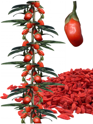 Baies de Goji - illustration