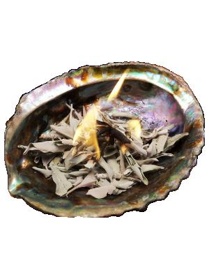 Coquille d'Ormeau et feuilles de sauge - illustration