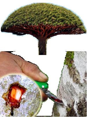 Sangre de drago illustration 2