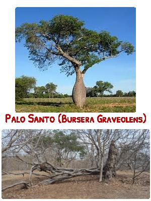 Arbre de Palo Santo